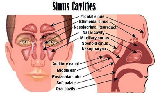 Does Yeast Affect My Sinuses and What is Fungal Sinusitis? Sinus-cavities