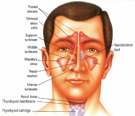 Sinus Treatments and Maxilliary Sinus Disease and the Ways Sinuses184