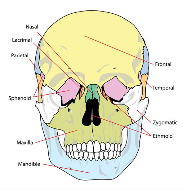 Relieving Sinus Infections and Sinus Pressure in 24 Hours Understanding-paranasal-sinus-infection0