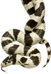 Baixar King snake care for beginners pdf, epub, eBook