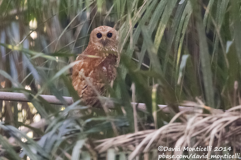 Alex-Hipkiss-Rufous-Fishing-Owl-1cDMonticelli