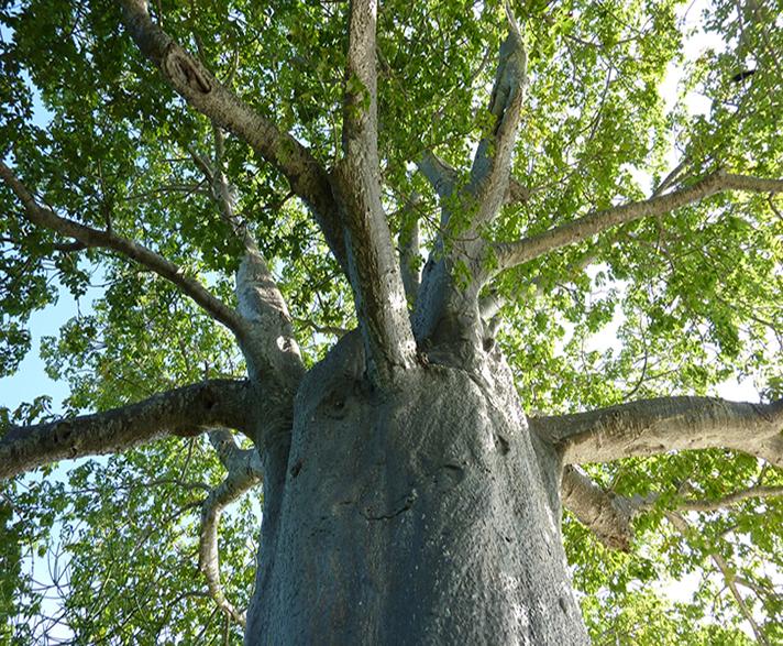 Baobab thumb2