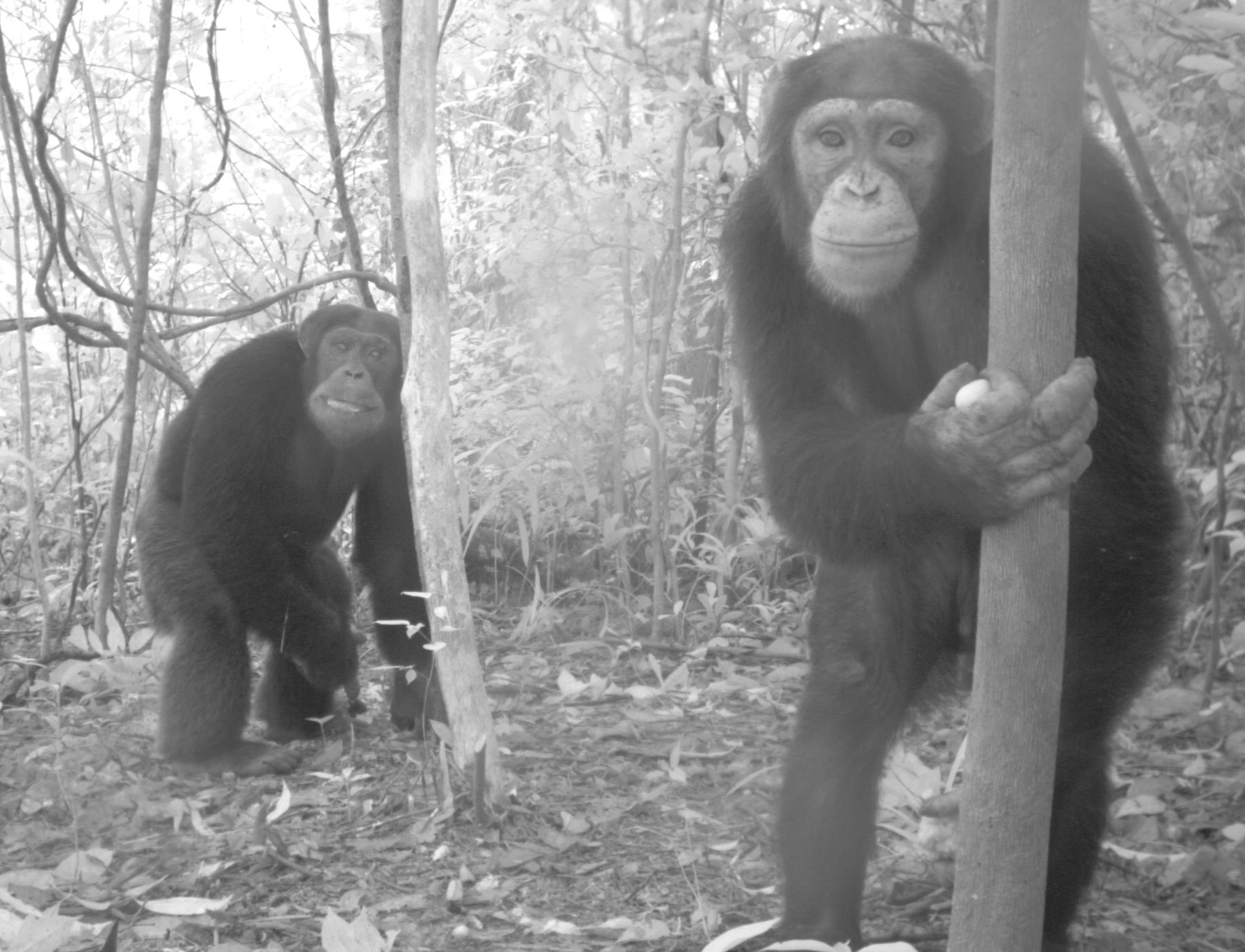 RSPB Chimpanzees GRNP