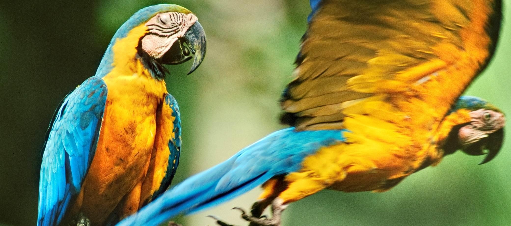 Tambopata-Parrots