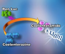 Luciferase reporter assay kits