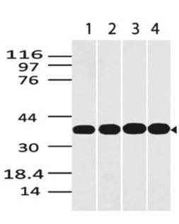 Figure-1: Western blot analysis of GAPDH. Anti- GAPDH antibody (Clone: ABM22C5) was used at 0.5 µg/ml on (1) Panc-1, (2) EL-4, (3) Jurkat and (4) HepG2 lysates.
