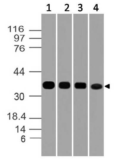 Figure-6: Western blot analysis of GAPDH. Anti- GAPDH antibody (Clone: ABM22C5) was used at 1 µg/ml on (1) h Lung, (2) h Testis, (3) h Liver and (4) h Ovary lysates.