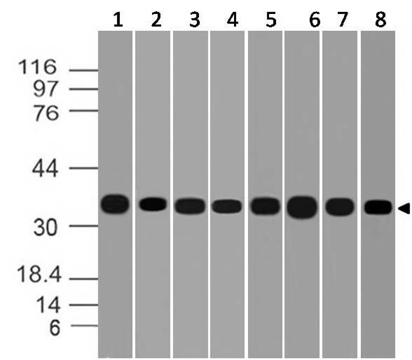 Monoclonal Antibody to GAPDH (Clone: ABM22C5)