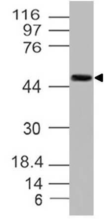 Monoclonal Antibody to c-MYC (Clone:9 E 10)