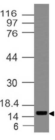 Monoclonal Antibody to BEX  (Clone: ABM29C7)