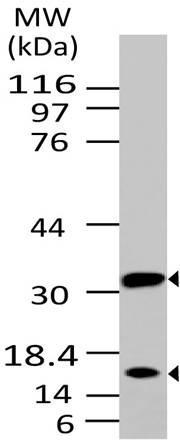 Monoclonal Antibody to Caspase-3 (Pro and Active) (Clone: ABM1C12)