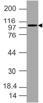 Anti SARS-CoV2 Spike RBD Antibody (Clone: ABM2A3.1D12)