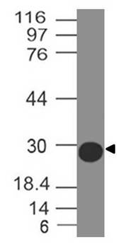 Anti SARS-CoV2 Spike RBD Antibody (Clone: ABM5D1.1E8)