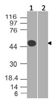 Monoclonal Antibody to SARS-CoV-2 Nucleocapsid Protein (Clone: ABM3A11.1B5)