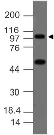 Monoclonal antibody to A-20/TNFAIP3 (Clone: ABM1G20 )