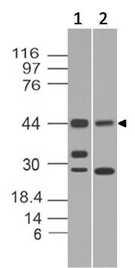 Monoclonal Antibody to Rap1 (Clone: ABM13D9)