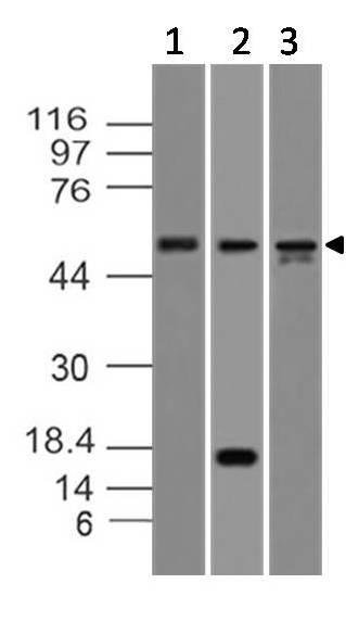 Monoclonal Antibody to Caspase-8 (Clone: ABM14C1)