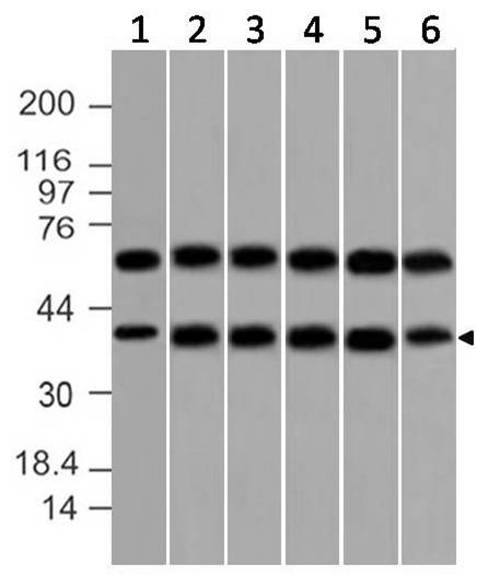 Monoclonal Antibody to DAP-3 (Clone: ABM15C4)