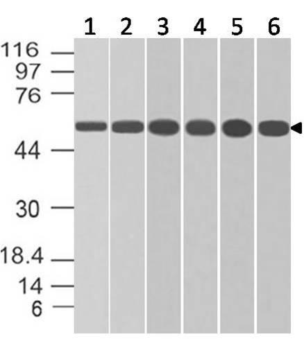 Monoclonal antibody to ATG5 (Clone: ABM5A86)
