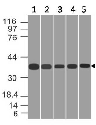 Monoclonal antibody to CREB1 (Clone: ABM5B73)