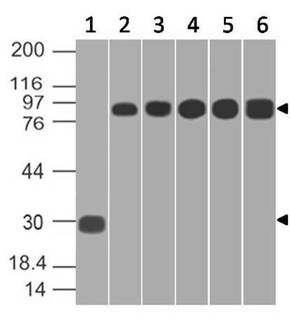 Monoclonal antibody to RLIP (Clone: ABM1C8.1D9)