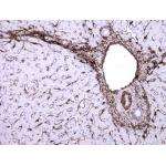Mouse Monoclonal Antibody to SMA (Clone :BS66)