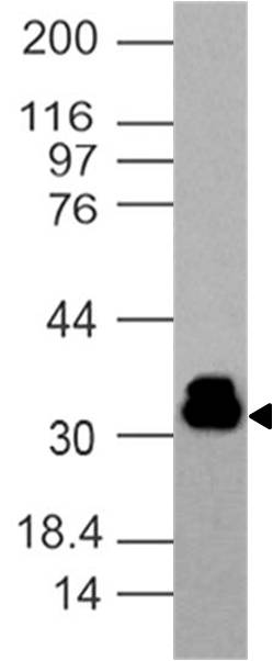 Fig-3: Western blot analysis of Rabbit recombinant hPD-1 antibody.  Anti-Rabbit recombinant hPD-1 antibody was tested at 1 µg/ml in Jurkat cell lysate