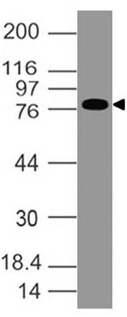 Monoclonal Antibody to EPS8 (Clone: ABM4H15)