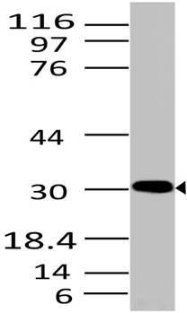 Fig-1: Western blot analysis of HMGB1. Anti- HMGB1 antibody (Clone: ABM24D3) was used at 2 µg/ml on HepG2 lysate.