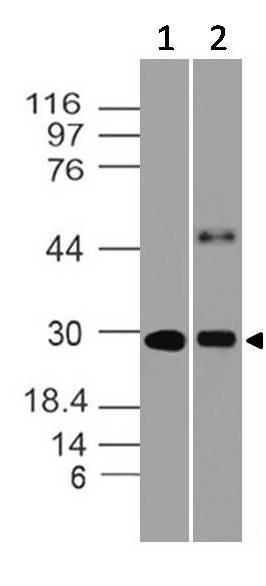 Fig-9: Western blot analysis of HMGB1. Anti- HMGB1 antibody (Clone: ABM24D3) was used at 0.5 µg/ml on (1) Ramos and (2) Raji lysates.