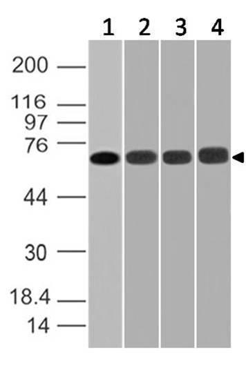 Monoclonal Antibody to DDX3 (Clone: ABM27H2)