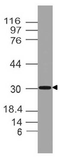 Monoclonal antibody to  TSLP (Clone: ABM2D78)