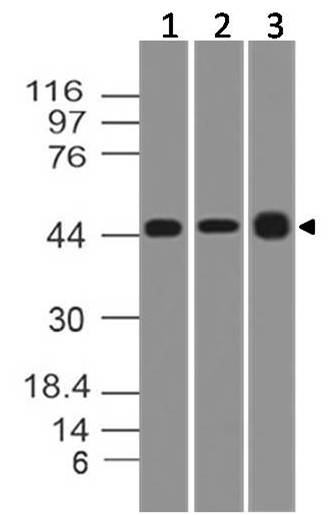 Monoclonal Antibody to TSLP (Clone: ABM27H9)