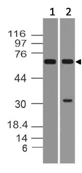 Monoclonal Antibody to hMAVS (Clone: ABM28C8)