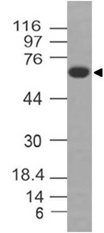 Monoclonal antibody to MAVS (Clone: ABM28H9)