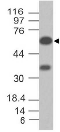 Monoclonal antibody to MAVS (Clone: ABM2A90)