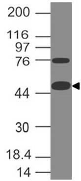 CD127 Antibody (Clone: ABM2A94)