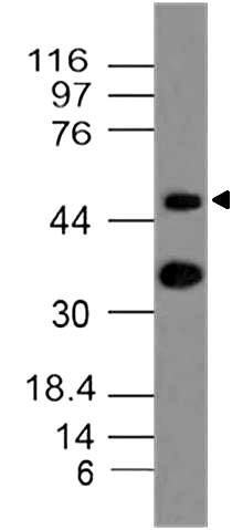 Monoclonal Antibody to mCD196 (Clone: ABM40H1)