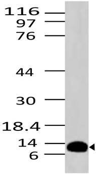 Monoclonal Antibody to S100A8 (Clone: ABM4D13)