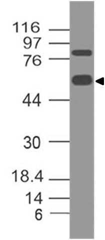 Monoclonal Antibody to Human CD98 (Clone: ABM5A27)