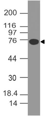 Monoclonal antibody to B7-H4 (Clone: ABM53A6)
