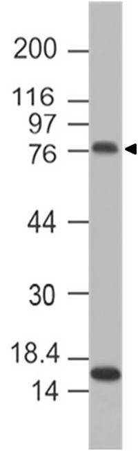 Monoclonal antibody to mF4/80 (Clone: ABM5D83)