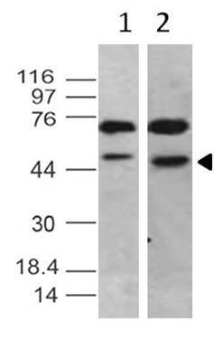Monoclonal Antibody to TRF2 (Clone: ABM10H3)