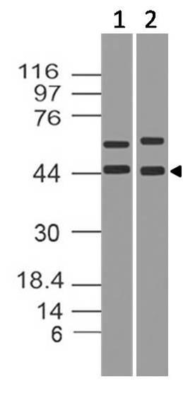 Monoclonal Antibody to IkB alpha (Clone: ABM10F4)