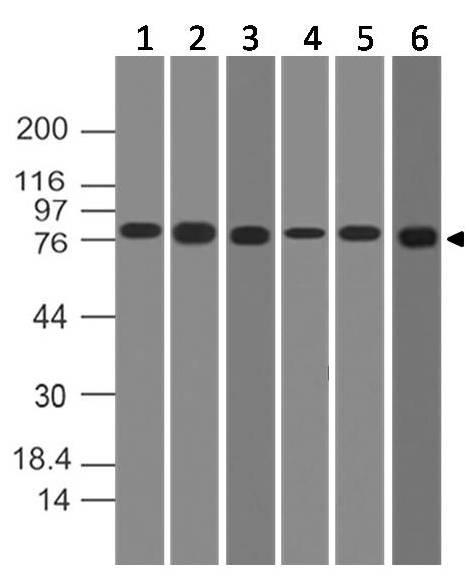 Monoclonal Antibody to IKK alpha (Clone: ABM10G9)