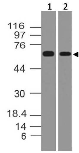 Monoclonal Antibody to TRAF5 (Clone: ABM12A2)