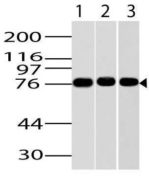 Monoclonal Antibody to Ikke/Ikki/TBK1 (Clone: ABM13C7)
