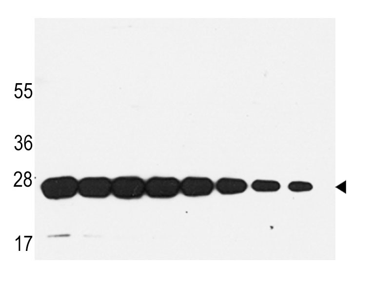 Mouse Monoclonal Antibody to GST (Clone: 21CT54.13.1 / 21CT54.13.7)