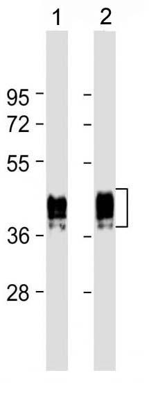 Mouse Monoclonal Antibody to GFAP (Clone: 183CT3.1.5)