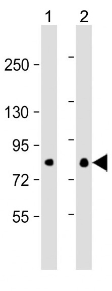 Mouse Monoclonal Antibody to EIF4B  (Clone: 355CT12.6.5)(Discontinued)